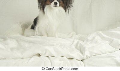 Dog Papillon is lying on bed stock footage video - Dog...