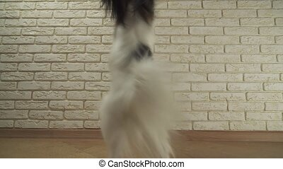 Dog Papillon is spinning on its hind legs against decorative...