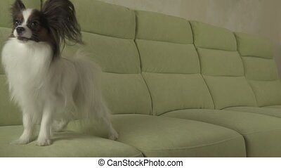 Dog Papillon jumps on couch slow motion stock footage video...