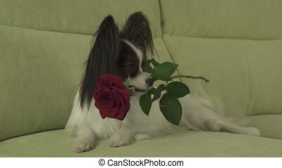 Dog Papillon keeps red rose in his mouth in love on valentines day stock footage video