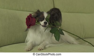 Dog Papillon keeps red rose in his mouth in love on...