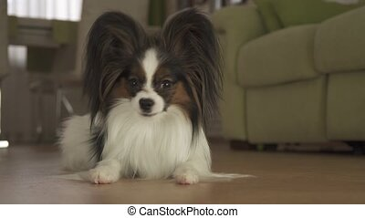 Dog Papillon licks and looks around in living room