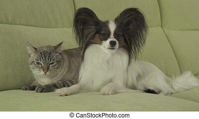 Dog Papillon lies next to cat Thai stock footage video - Dog...
