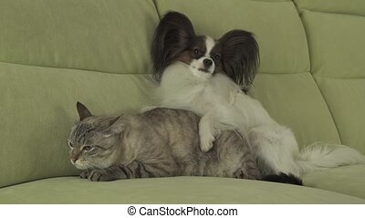Dog Papillon lies on cat - Dog Papillon lies on the cat