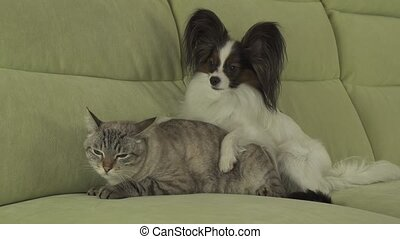 Dog Papillon lies on cat stock footage video - Dog Papillon...