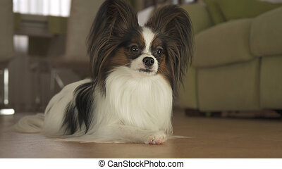 Dog Papillon lies on the floor in living room