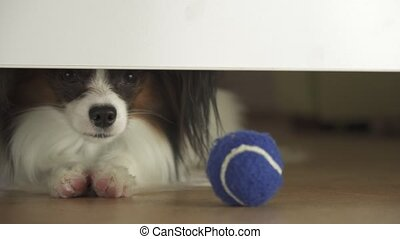 Dog Papillon looks under the bed and tries to reach the ball...