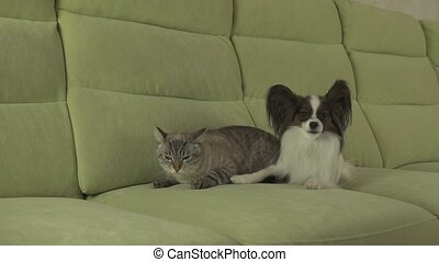 Dog Papillon looks with fear on cat Thai tense relationship...