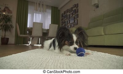 Dog Papillon playing with a ball on a rug in living room...