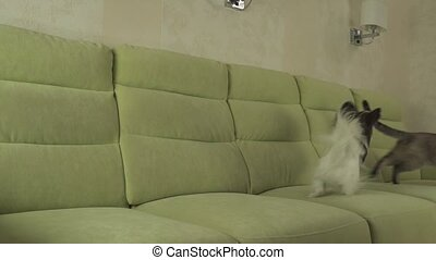 Dog Papillon runs after cat Thai slow motion - Dog Papillon...