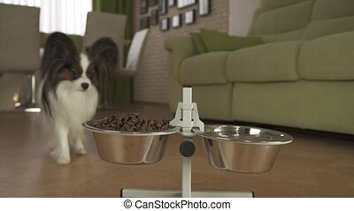Dog Papillon runs to the bowls and eats dry food in living...