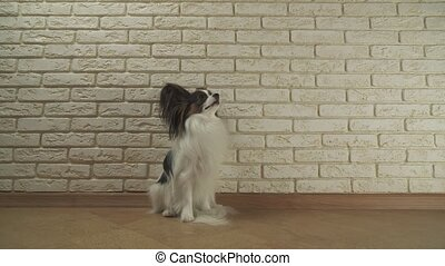 Dog Papillon sits yawns and looks around against decorative...