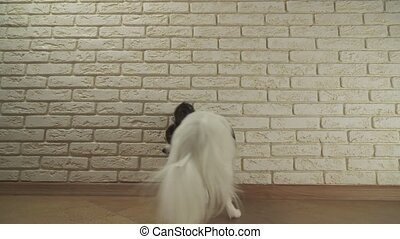 Dog Papillon sits yawns and turns around against decorative...