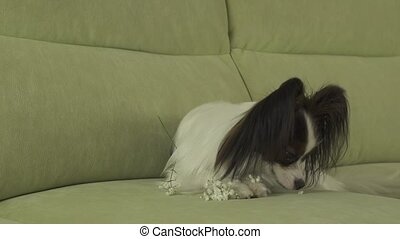 Dog Papillon sniffs and gnaws white flowers in love on...