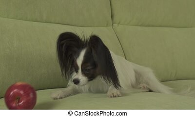 Dog Papillon sniffs and licks red apple stock footage video...