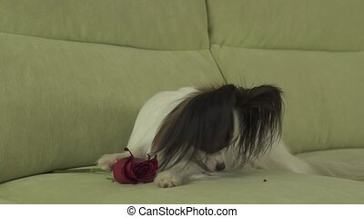 Dog Papillon sniffs red rose and cuts off petals in love on valentines day stock footage video