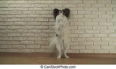 Dog Papillon stands on its hind legs against decorative...