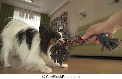 Dog Papillon takes rope plays with the host in living room