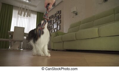 Dog Papillon takes the rope plays with the host in living...