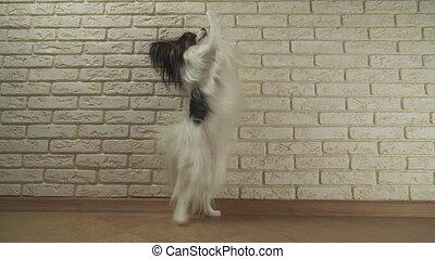 Dog Papillon walks on its hind legs against decorative brick...