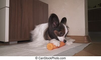 Dog Papillon with appetite eats fresh raw carrots footage video