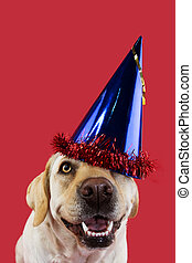 DOG PARTY HAT. FUNNY LABRADOR WEARING A BLUE CAP FOR A BIRTHDAY OR NEW YEAR. ISOLATED SHOT AGAINST CORAL COLORED BACKGROUND.