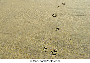 dog paw prints isolated on sand - close up of dog paw prints...