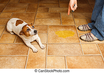 Dog Pee Scold Lay - Jack Russell Terrier lying beside it's...
