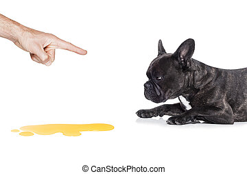 dog pee - french bulldog dog being punished for urinate or...