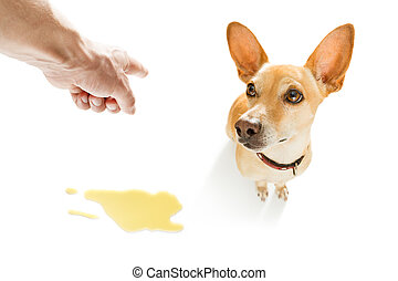 dog pee urine on the floor - chihuahua podenco dog being...