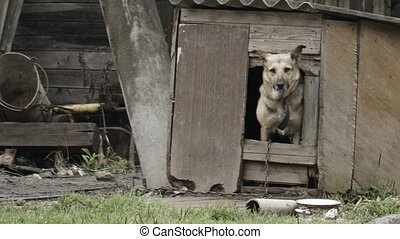 Elderly dog peeking out of the door of a wooden dog house in the garden as though posing for the camera