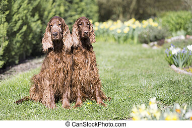 Dog pet friendship - Irish Setter couple sitting in the grass