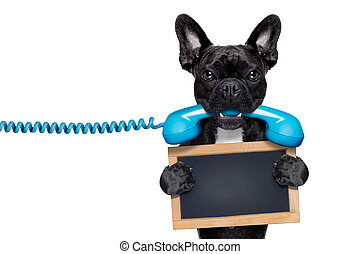 french bulldog dog holding a old retro telephone and a blank empty blackboard, isolated on white background