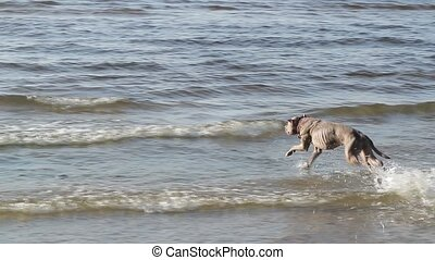 Dog pit bull playing in water slow motion - Dog pit bull...