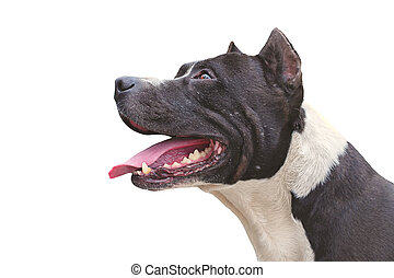 Dog Pit Bull Terrier happy appearance isolated on white...