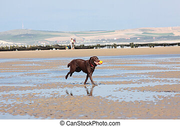 dog playing ball on the beach in summer