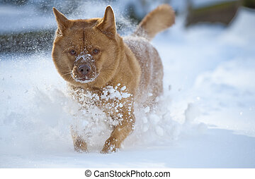 Dog playing in snow - Dog running through heavy snow