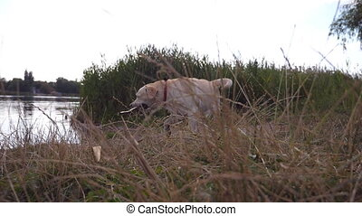 Dog playing outdoor at nature in summer. Labrador or golden...