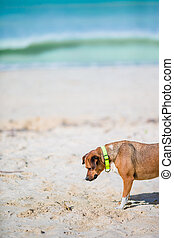Dog playing with a small crab on the beach