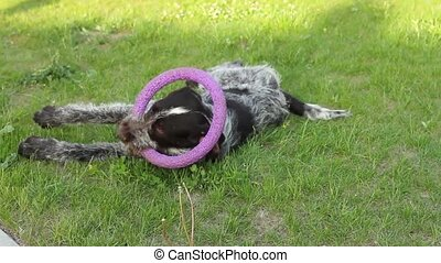 dog playing with summer ring - dog breed Terrier lies and...