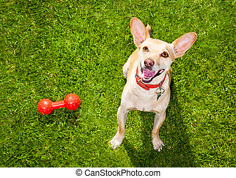dog playing with toy or bone - happy chihuahua terrier dog ...
