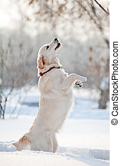 dog plays in winter