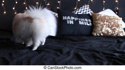 dog Pomeranian Pomeranian the Christmas tree with gifts, beautiful interior