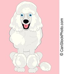 Dog poodle on rose background is insulated