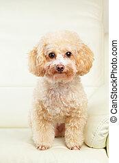 Dog poodle