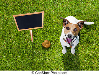 dog poop on grass in park - jack russell dog guilty for the...
