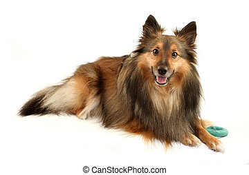 dog portrait - beautiful furry purebred Shetland Sheepdog...