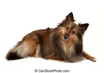 dog portrait - beautiful furry purebred Shetland Sheepdog (...