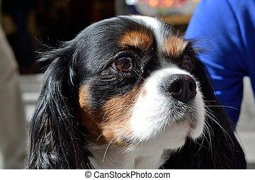 Dog Portrait Cavalier King Charles - Portraet des Hundes...