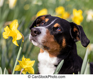 dog portrait in the spring field of yellow daffodils
